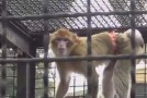 Un Macaco in cerca di casa (VIDEO)