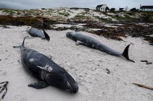 Mammiferi marini a rischio nelle acque indiane.