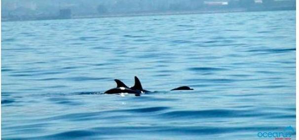 Oceanus, avvistati delfini a Bagnoli