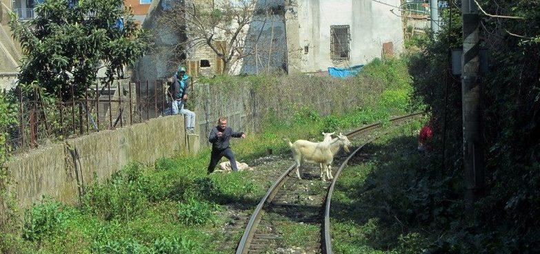 Circumvesuviana: capre sui binari
