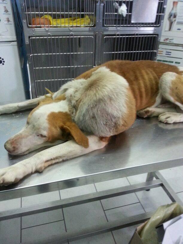 """Sulle spalle degli animali il peso dei veleni di Giugliano, """"Sorriso"""" e i suoi 4 kg di tumore"""