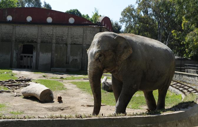 Zoo di Napoli: addio all'elefantessa Sabrina