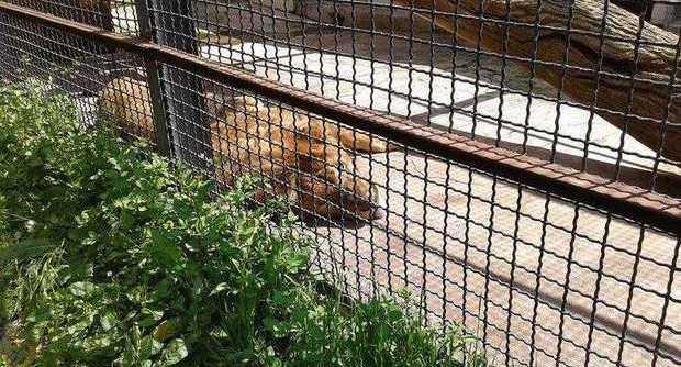 Leone Charlie morto: lo zoo di Napoli in lutto