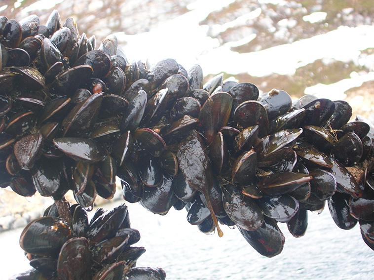 Allevamento abusivo di cozze: sequestrate 50 tonnellate a Napoli