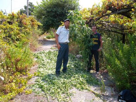 Sequestrata piantagione di marijuana sui Monti Lattari