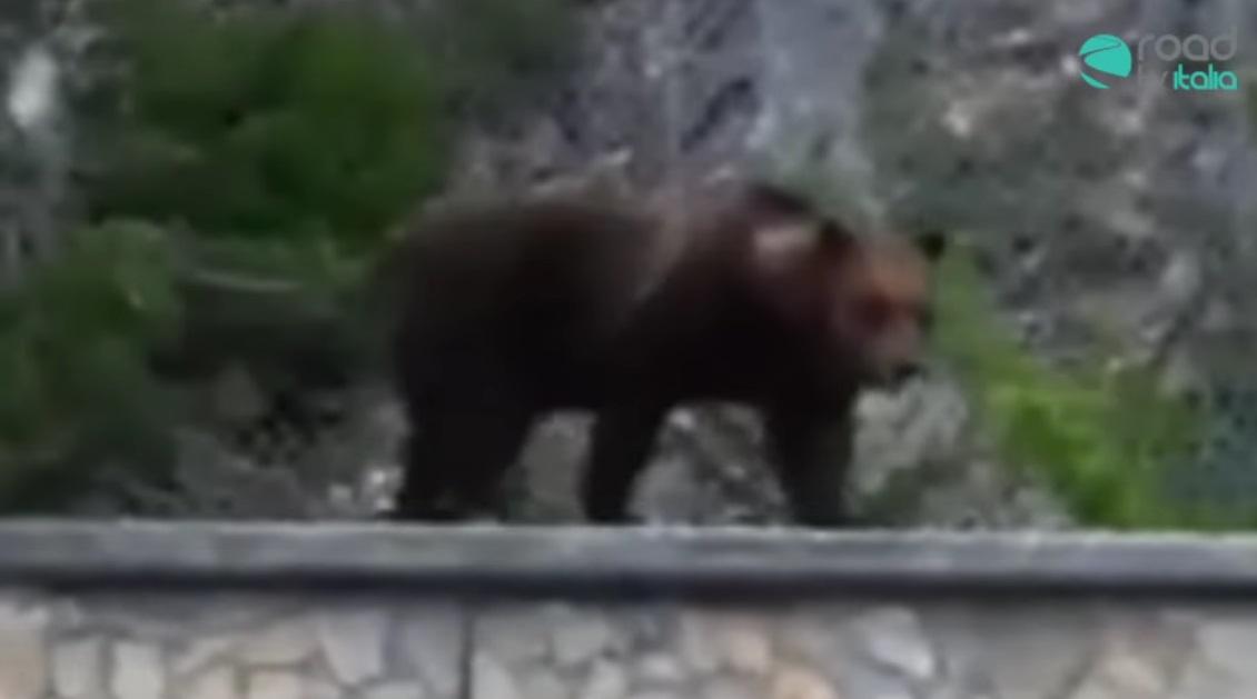 Orso avvistato a Roccaraso: il video diventa virale