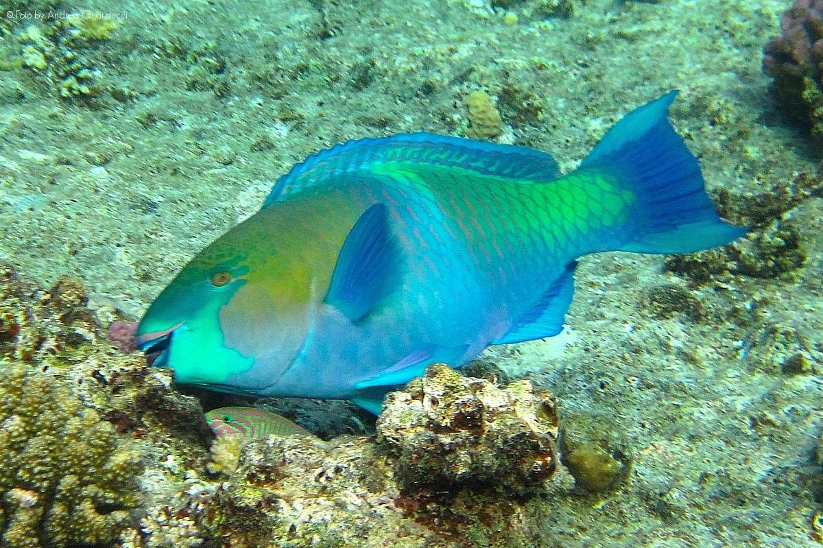 Pesci pappagallo nel golfo di Napoli, avvistarli non è più una rarità