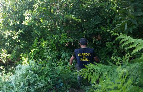 Piantagione di marijuana scoperta con l'elicottero nel Casertano