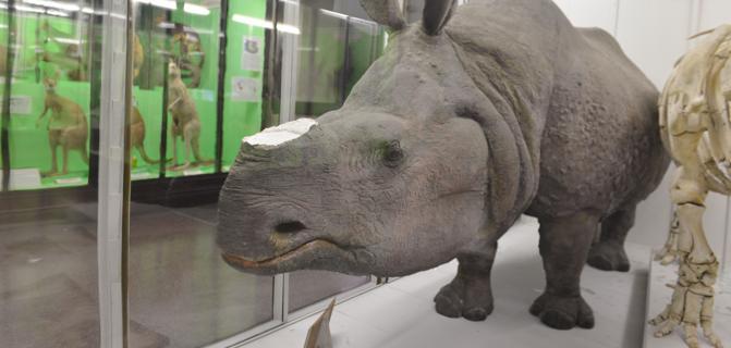 Corni di rinoceronte antichi rubati dal Museo di Napoli
