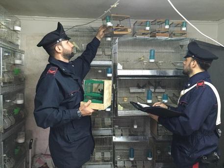 Cardellini catturati illegalmente: erano in gabbie senza luce e aria