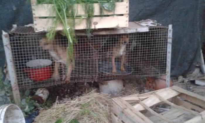 Maltrattamento di animali, accade nel Casertano: due denunciati per aver lasciato cani senza cibo e acqua