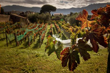 Vendemmia negli Scavi di Pompei: Ricerca applicata all'archeologia per il vino