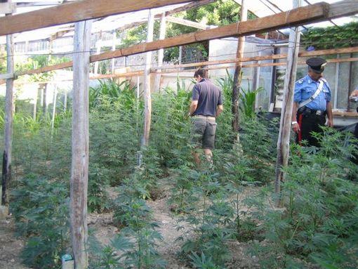 Cannabis in serra con frutta e ortaggi: tre arresti nel Napoletano