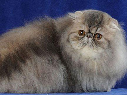 I 200 gatti più belli d'Europa nella Mostra internazionale felina a San Giorgio a Cremano