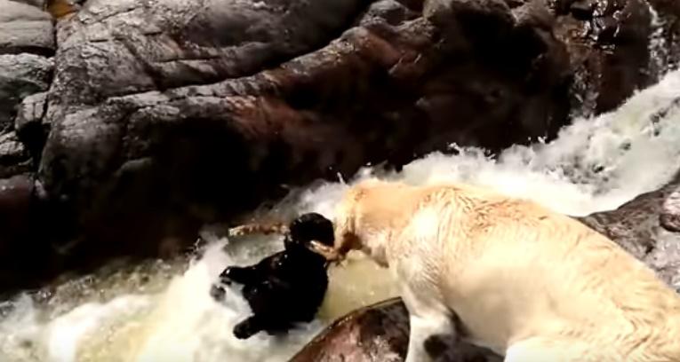 Cane trascinato dalla corrente, lo salva il suo amico (VIDEO)