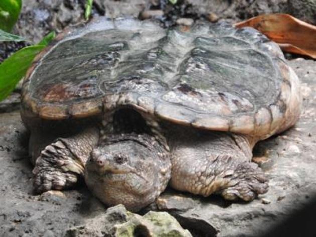 Trovato a Pomigliano d'Arco un esemplare della 'tartaruga azzannatrice'