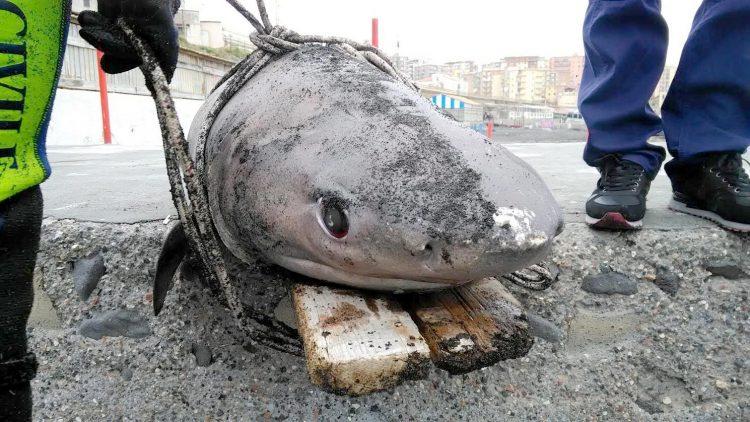 Carcassa di squalo ritrovata sul litorale tra Ercolano e Torre del Greco