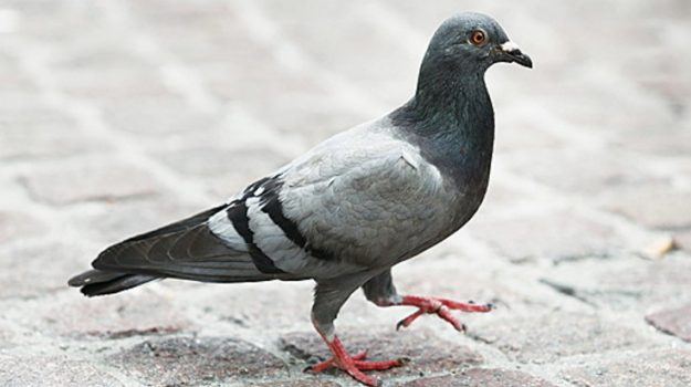 Dopo 110 anni ritrovato il messaggio di un piccione viaggiatore
