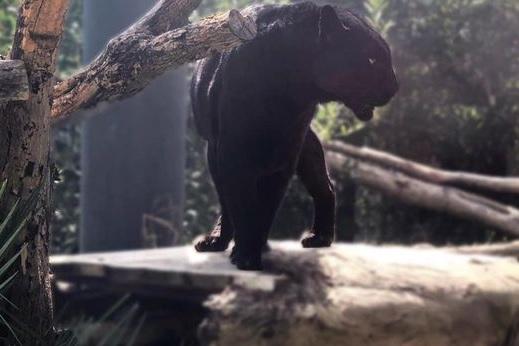 Zoo di Napoli, è morta la pantera nera Moro